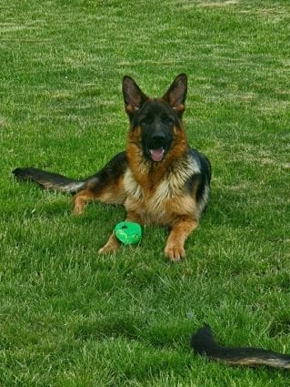 7 Month Sastor vom Hühnegrab Puppy for Sale in Germany