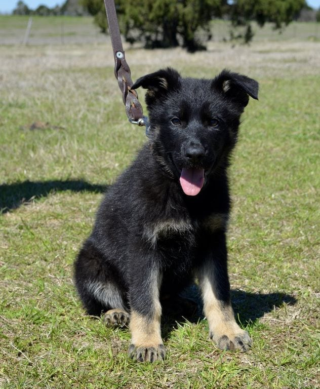 Excellent German Shepherd Puppies for Family Home Protection petworldglobal.com