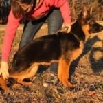 Kuckucksland German Shepherd Puppies North Carolina