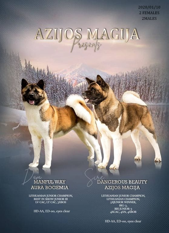 Akita Puppies for Sale FCI Pedigree Show and Breed Class petworldglobal.com