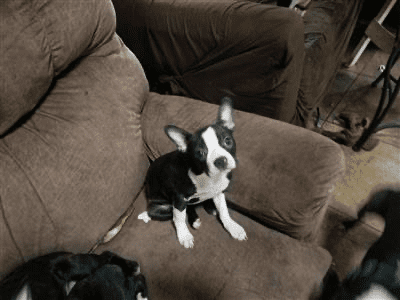 AKC BOSTON TERRIER PUPPIES FOR SALE petworldglobal.com