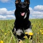 Excellent Young German Shepherd Female for Sport and Family in Czech Republic