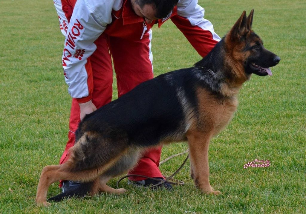TOP GSD Young Female for Sale Beta Team Borovobox petworldglobal.com