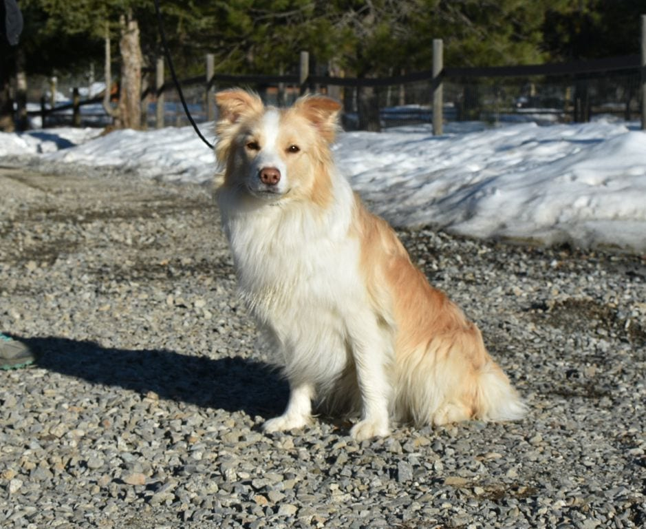 Border Collie Female for Sale Beautiful Gold and White in IDAHO petworldglobal.com