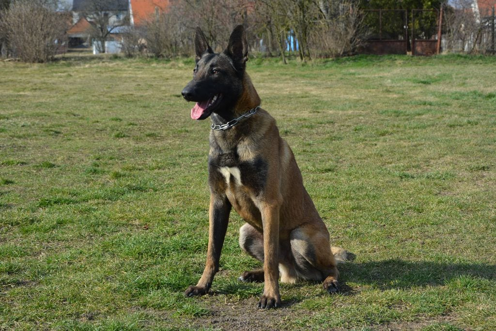 Fully Trained Malinois Male for Sale in Slovakia petworldglobal.com