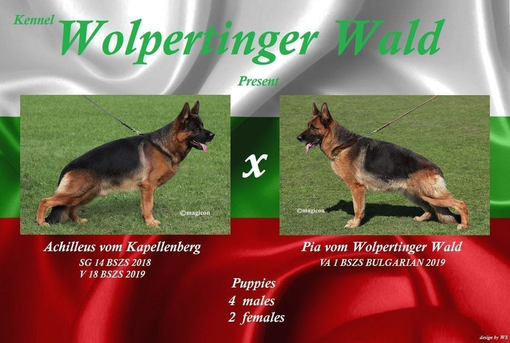 Achilleus v. Kapellenberg German Shepherd Puppies for sale in Bulgaria petworldglobal.com