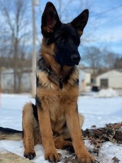 Gorgeous 7 month GSD Female for Sale in IL petworldglobal.com