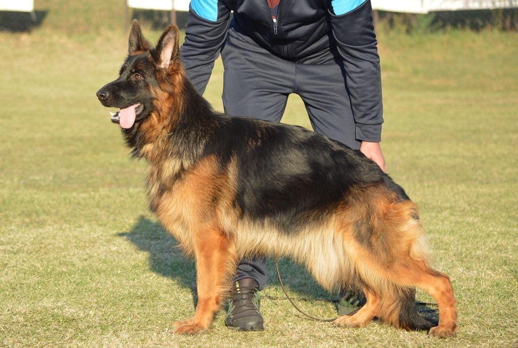 High quality young longhair german shepherd female for sale