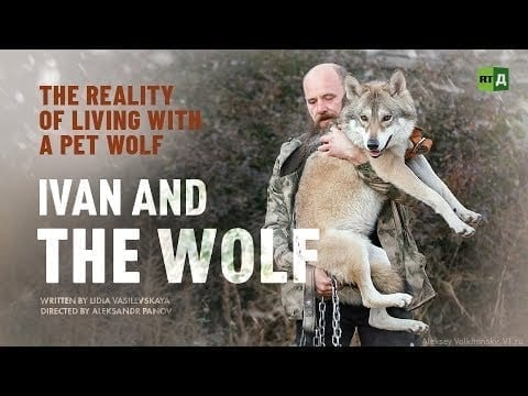 Ivan and the Wolf. The reality of living with a pet wolf