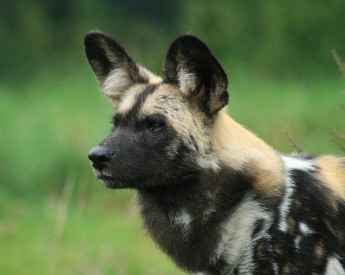 WILD DOG 2016 - Wild DOG Documentary 2016 [720p] HD