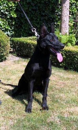 11 Month Black Malinois for Sale in Netherlands petworldglobal.com