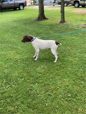 AKC German Short-Haired Pointer.jpg