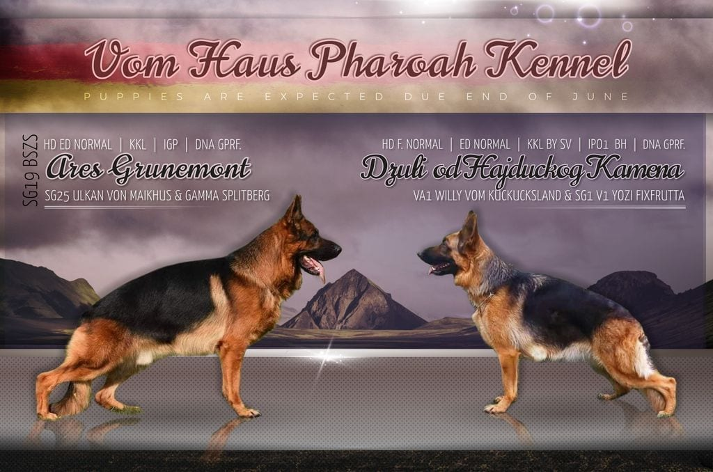 Ares Grunemont IGP Kkl and Willy Vom Kuckucksland Daughter Puppies petworldglobal.com