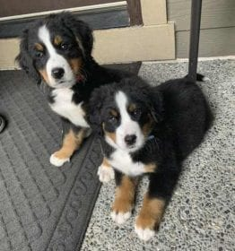 BERNESE MOUNTAIN DOG PUPPIES FOR SALE IN WA