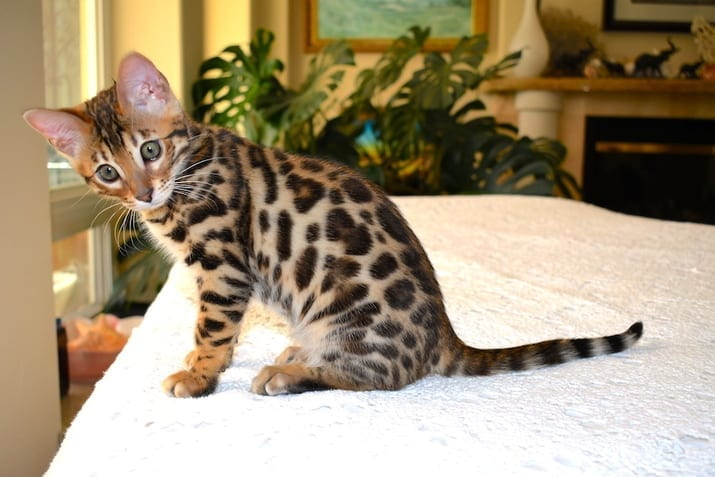 Bengal Kittens fo Sale