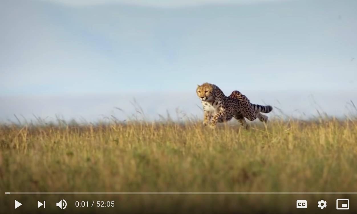 Cheetah The Fastest Animal in the World The Incredible Five