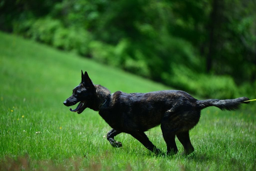 Dutch Shepherd import from Holland Green Polide Protection Dog petworldglobal.com