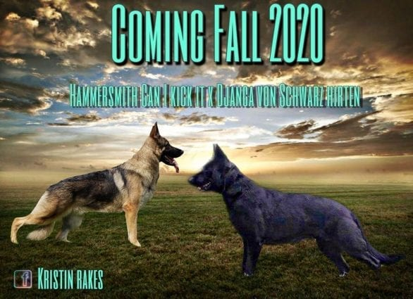 Exciting Upcoming Puppies as Ideal German Shepherd Should Be in US petworldglobal.com