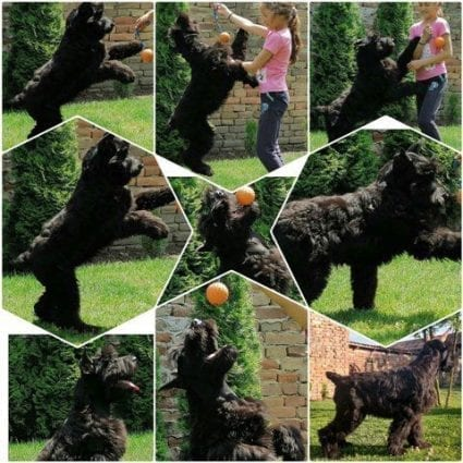 Giant Schnauzer Puppy for Sale petworldglobal.com