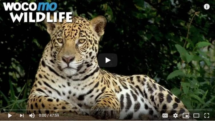 Jaguar - the king of the Pantanal - Secret Brazil Animal Documentary