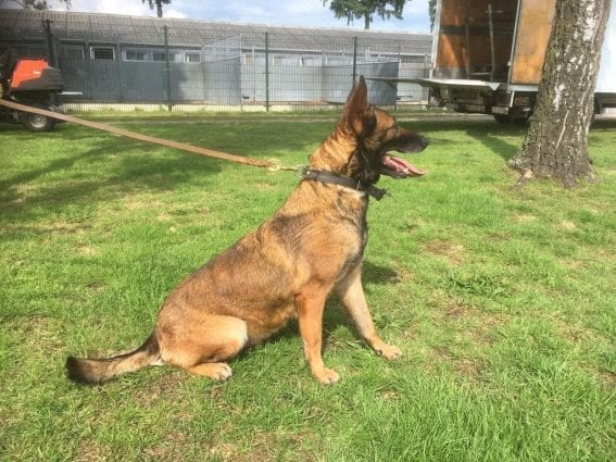 KNPV Female for Sale, KNPV PH1 Malinois for Sale - 4 year - 428 435 - Social KNPV Malinois Breeders