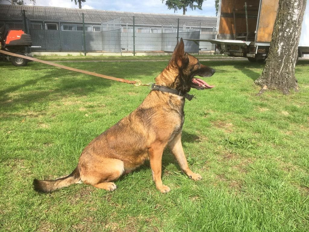 KNPV Female for Sale, KNPV PH1 Malinois for Sale - 4 year - 428/435 - Social petworldglobal.com