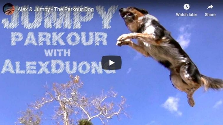 Sport and Dog Video of Jumpy The Parkour Dog