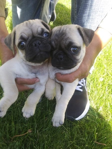 Pug Puppies for Sale in WA petworldglobal.com