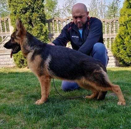 9 Month German Shepherd Female for Sale - Father Quentin von Regina Pacis petworldglobal.com