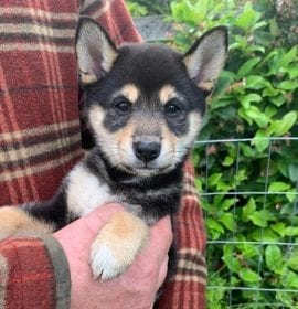 Shiba Inu Puppies for Sale in Seattle