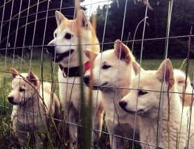 Shiba Inu Puppies for Sale in Washinton State