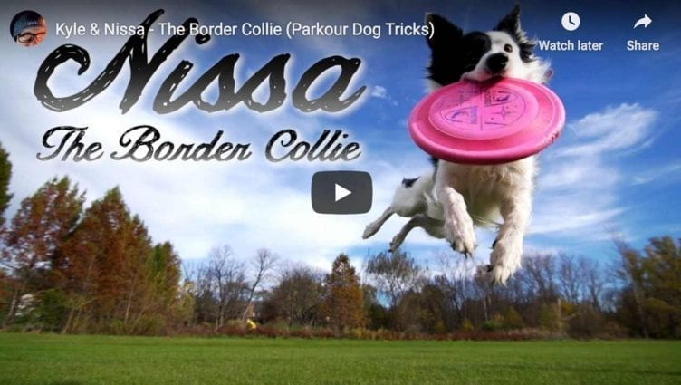 Sport and Dogs Kyle Nissa The Border Collie Parkour Dog Tricks