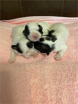 TEDDY Bear Puppies. Shih-Tzu Bichon Frise cross