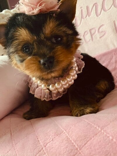 Teacup Yorkie Puppies for Sale in WA petworldglobal.com