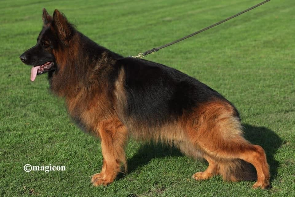 Longcoat GSD Male for Stud V43 BSZS Baer vom roten Diego IPO3 Cave Greek, Arizona petworldglobal.com