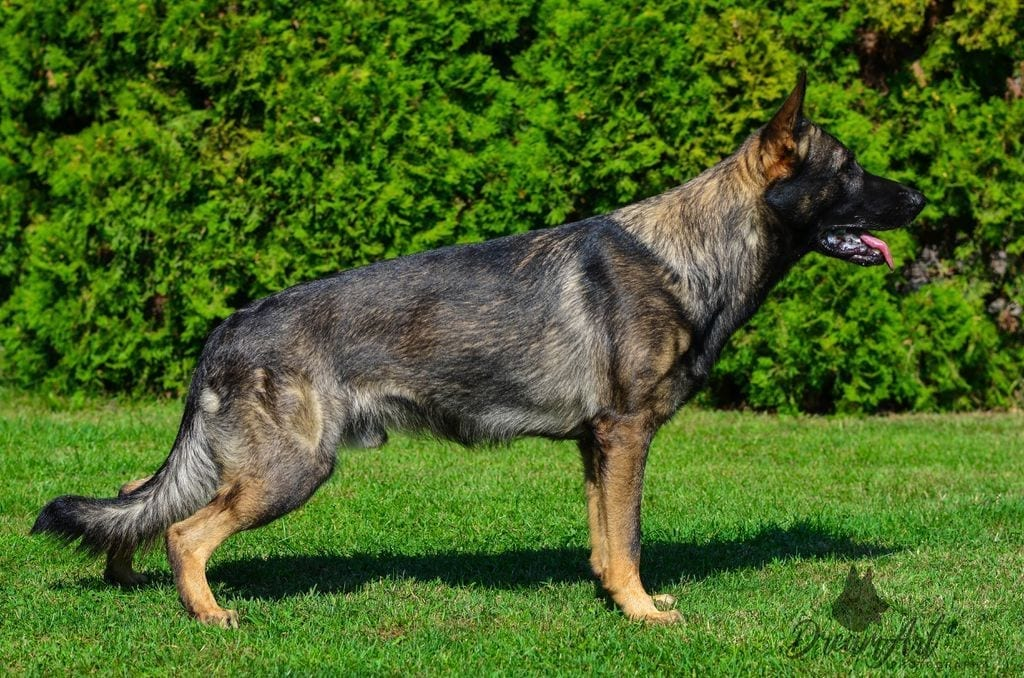 Working Line German Shepherd for Sale in Hungary petworldglobal.com