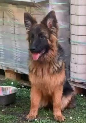 Young Female German Shepherd for Sale from Germany petworldglobal.com