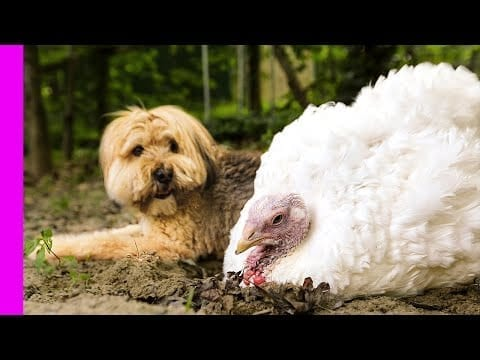 Dog and Turkey are Best Friends! | Unlikely Animal Friendship | Love Nature petworldglobal.com