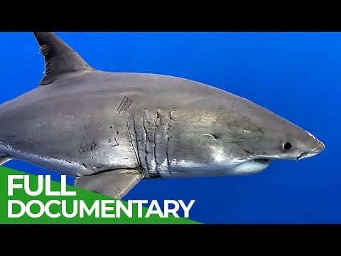Feeding the World's Most Dangerous Shark | Blue World | Free Documentary Nature petworldglobal.com