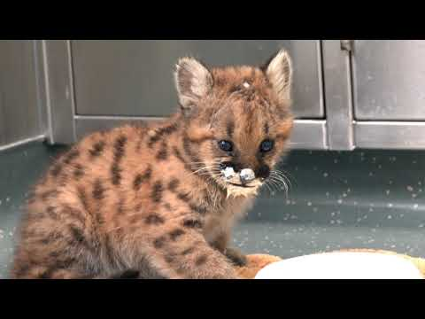 Home Found For 8-Week-Old Cougar Cub Orphan petworldglobal.com