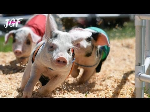 Pig racing - This race was get out of hand 😀😂🤣 petworldglobal.com