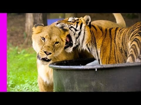 Social Lion Bonding With Solitary Tiger | Oddest Animal Friendship | Love Nature petworldglobal.com