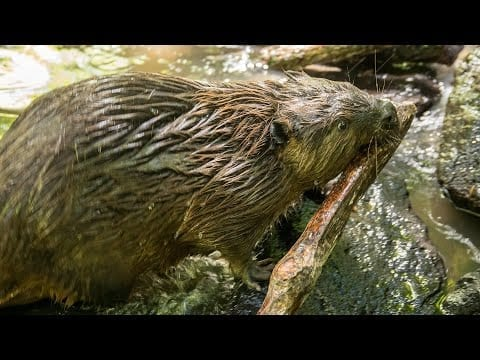 Take A Walk With Beavers Filbert And Maple petworldglobal.com