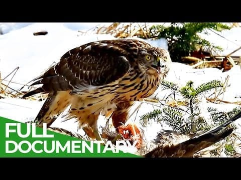 The Swiss Alps: Wild Animal Paradise | Free Documentary Nature petworldglobal.com