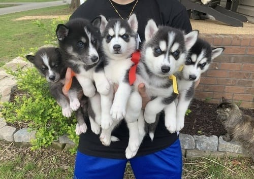 Lovely Pomsky and Huskies puppies