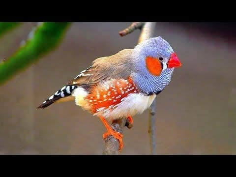 10 Most Beautiful Finches in the World (P2) petworldglobal.com