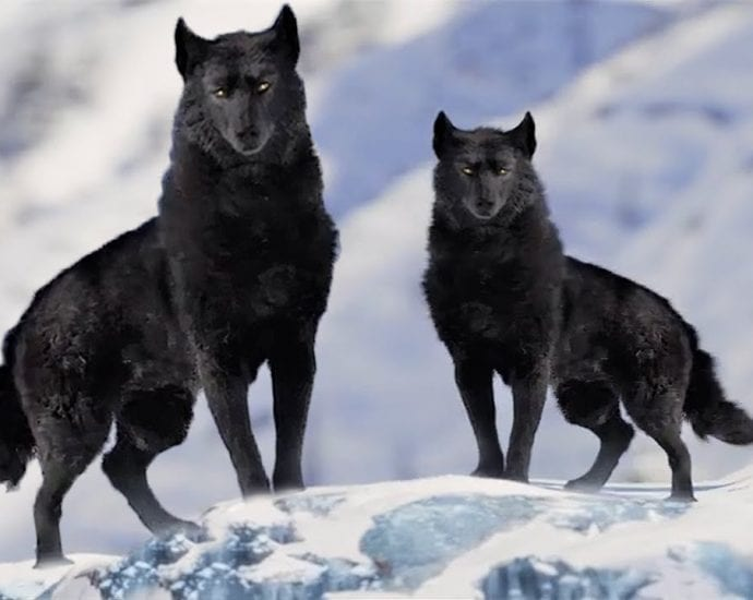 7 Most Beautiful Wolves in the World petworldglobal.com