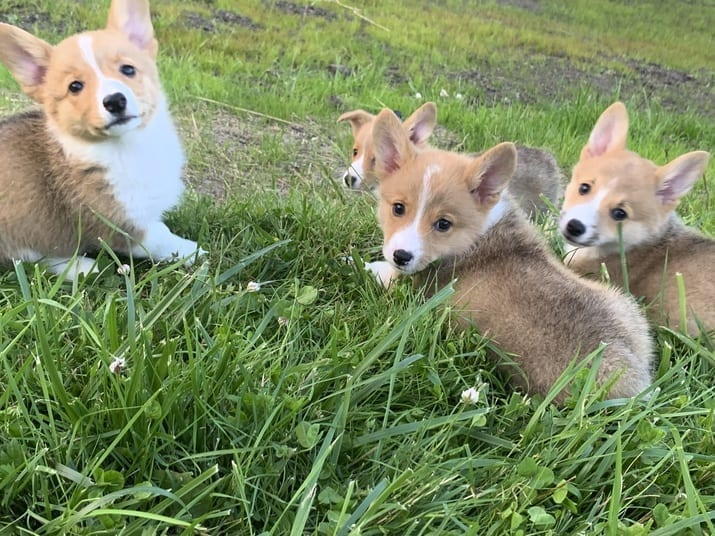 AKC Pembroke Welsh Corgi puppies for sale in WA petworldglobal.com