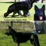 AKC Working Line German Shepherd Puppies for Sale in Sacramento petworldglobal.com