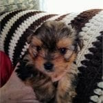 Adorable Yorkie Poo-Pomchi Puppies